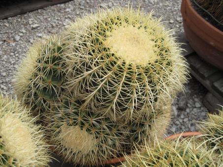 Echinocactus grusonii %