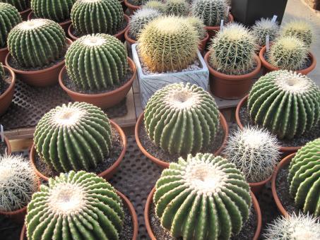 Echinocactus grusonii f. brevispinus %