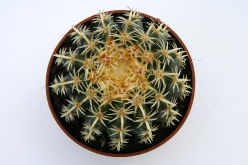 Echinocactus grusonii f. pachyspinus %