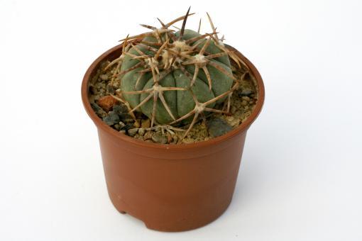 Echinocactus horizonthalonius ~