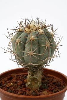 Echinocactus horizonthalonius VE ~