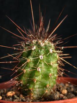 Echinocereus acifer ssp. tubiflorus