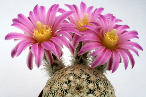 Echinocereus adustus Cusihuiriachi Municipality, Chi, MEX