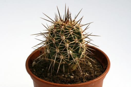 Echinocereus arizonicus MAO0217 Pinal, Gila Co., AZ, USA
