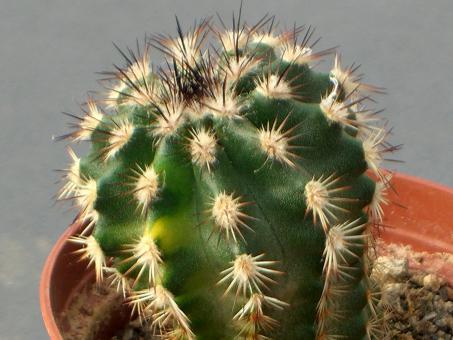 Echinocereus bristolii Hybr.
