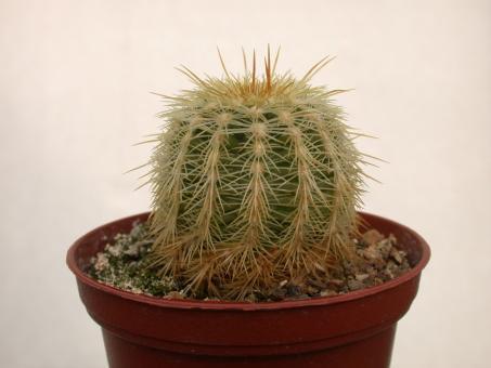 Echinocereus chloranthus ssp. cylindricus *1^ %