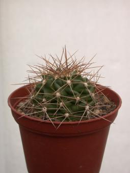 Echinocereus coccineus % *1^ SB850 Ladrone Mts., Soccorro Co., NM, USA