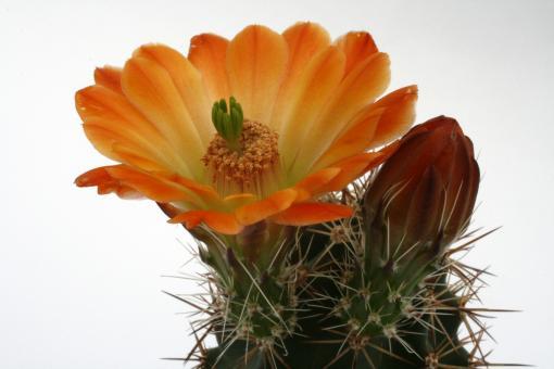 Echinocereus lloydii *3^ SB731 Pecos Co., TX, USA