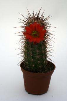Echinocereus pacificus San Carlos, BCN, MEX