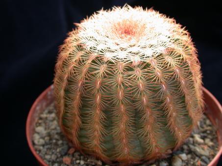 Echinocereus pectinatus Sierra San Ignacio, Chi, MEX