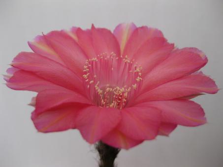 Echinopsis-Hybriden Apollonia