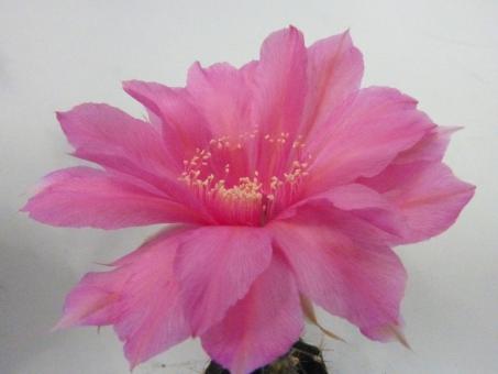Echinopsis-Hybriden Csardas Rheingold263