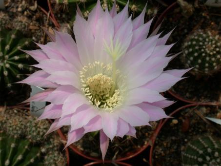 Echinopsis-Hybriden Hellrosa