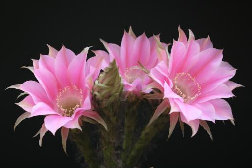 Echinopsis-Hybriden Melodie Rheingold217