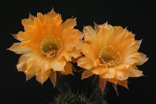 Echinopsis-Hybriden Nibelungenschatz Rheingold259