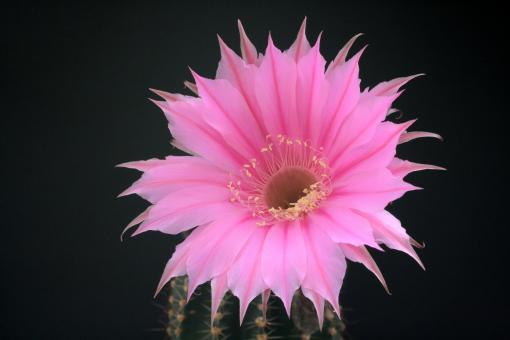 Echinopsis-Hybriden Sterntaler Rheingold261