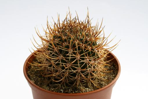Echinopsis melanopotamica P98 Puelches, La Pampa, ARG, 400m