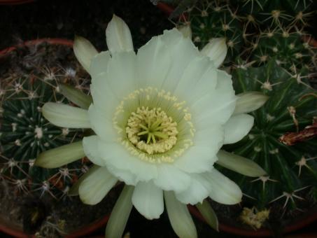 Echinopsis obrepanda v. fiebrigii
