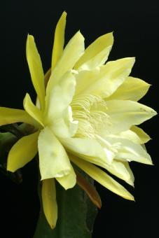 Epicactus-Hybriden Amrey Paetz