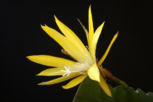 Epicactus-Hybriden Yellow Paetz