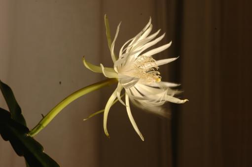 Epiphyllum hookeri RBA417 Charlotteville, Pirates Bay, Tobago