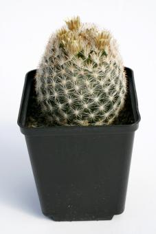 Escobaria chaffeyi *2^ SB1440 Catorce, SLP, MEX