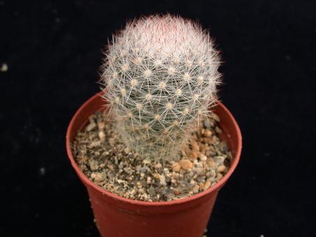 Escobaria chaffeyi *4^ SB839