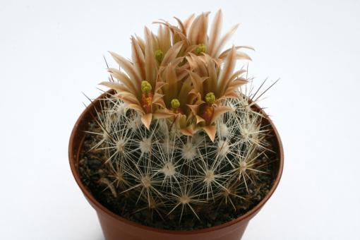 Escobaria emskoetteriana LX184 Potrero Chico Canyon, NL, MEX