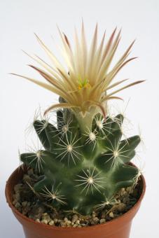 Escobaria missouriensis v. caespitosa *1^