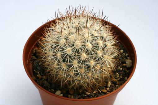 Escobaria organensis *1^ SB823 Organ Mts., Dona Ana Co., NM, USA
