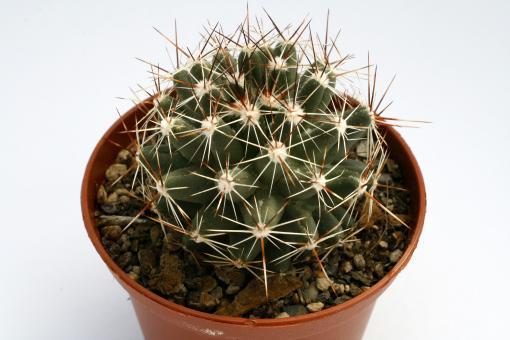 Escobaria vivipara *1^ % DJF802.42 Garza Co., TX, USA