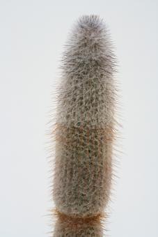 Espostoopsis dybowskii