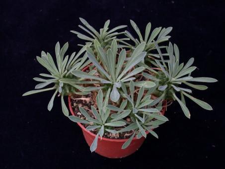 Euphorbia bupleurifolia x suzannae >.