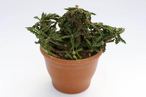 Euphorbia decaryi $ § >.
