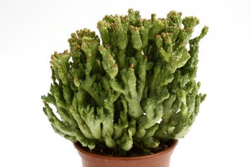 Euphorbia enopla f. monstrosa Rosso >.