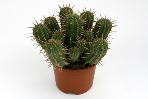 Euphorbia ferox mehrere Köpfe