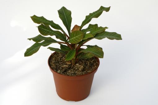 Euphorbia leuconeura %