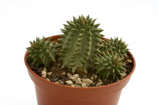 Euphorbia suzannae %