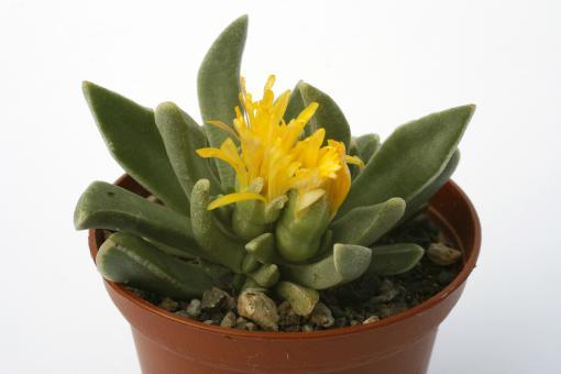 Faucaria paucidens w. Graaf Reinet, RSA