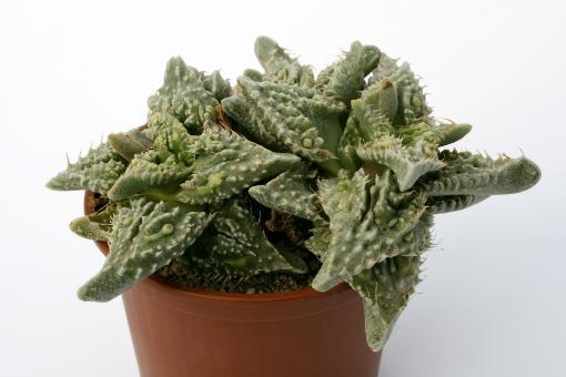 Faucaria tuberculosa Sato-Japan-Hybride