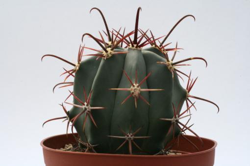 Ferocactus californicus s. of Loreto, BC, MEX