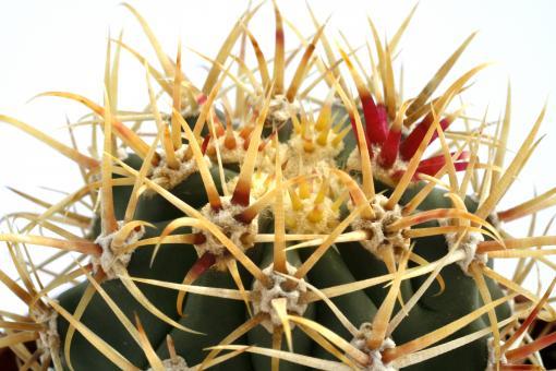 Ferocactus diguetii