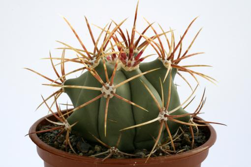 Ferocactus emoryi Agua Prieta, e. Imuris, Son, MEX