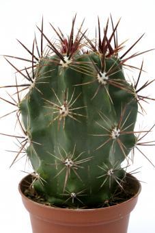 Ferocactus flavovirens