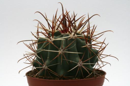 Ferocactus gracilis ssp. gatesii Isla la Ventana, BC, MEX