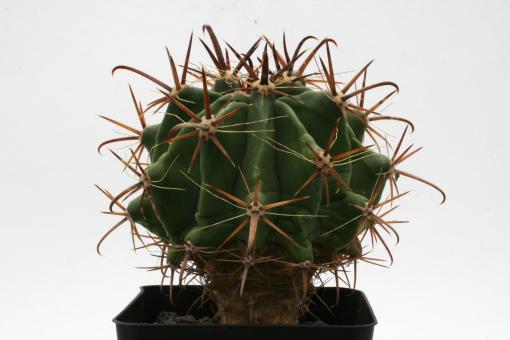 Ferocactus herrerae Topolobampo SIN, MEX