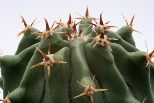 Ferocactus horridus cv. Brevispinus