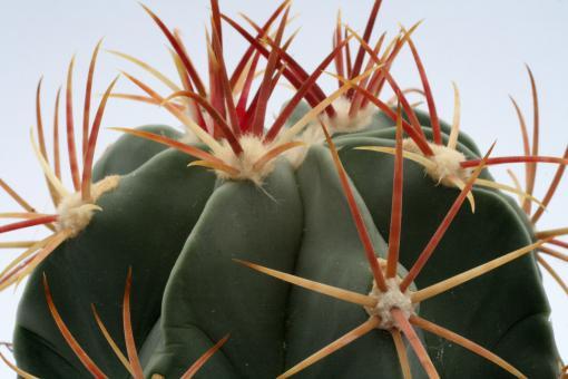 Ferocactus latispinus f. spiralis SB547 Totolapan, Oax, MEX