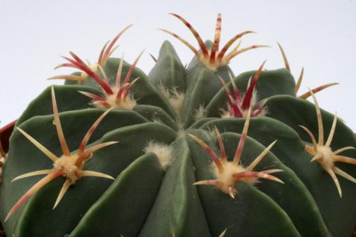 Ferocactus macrodiscus $
