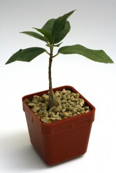Ficus burkei Y. $ Namibia